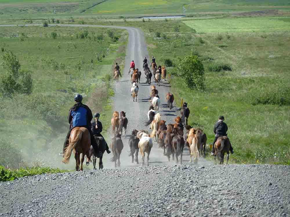 Icelandic horses - no ponies - Iceland