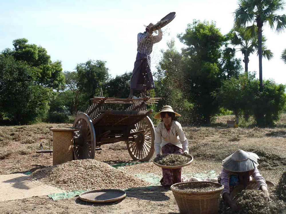 Peanut harvest in Myanmar